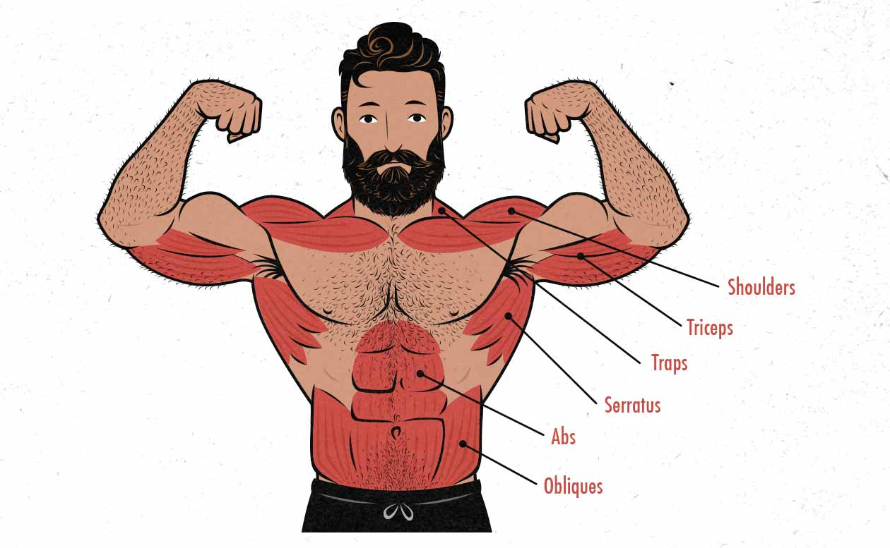 Illustration of the muscles worked in the standing barbell overhead press.