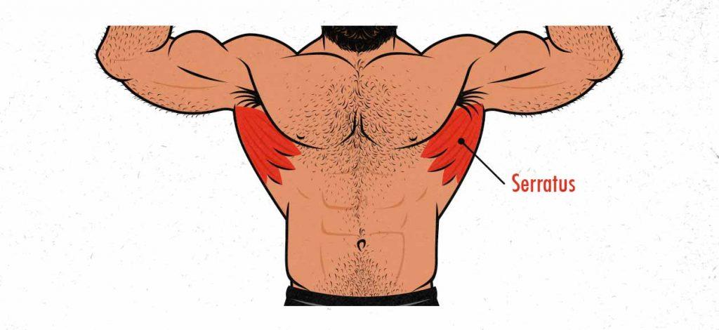 Illustration of the serratus anterior muscles.
