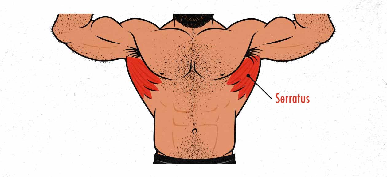 Ilustración que señala el músculo serrato anterior.