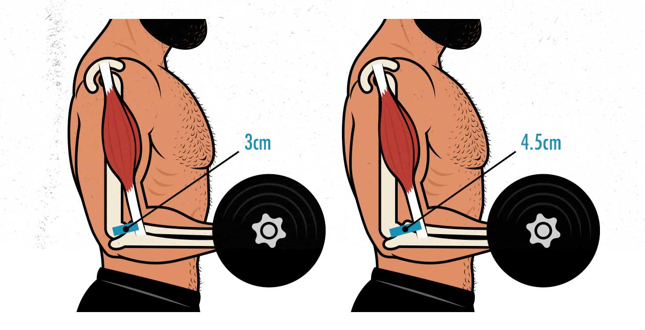 Diagram showing how tendon insertions affect strength.