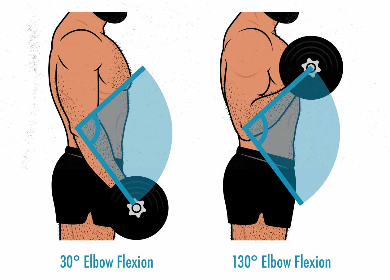 Diagram of the range of motion in a biceps curl.