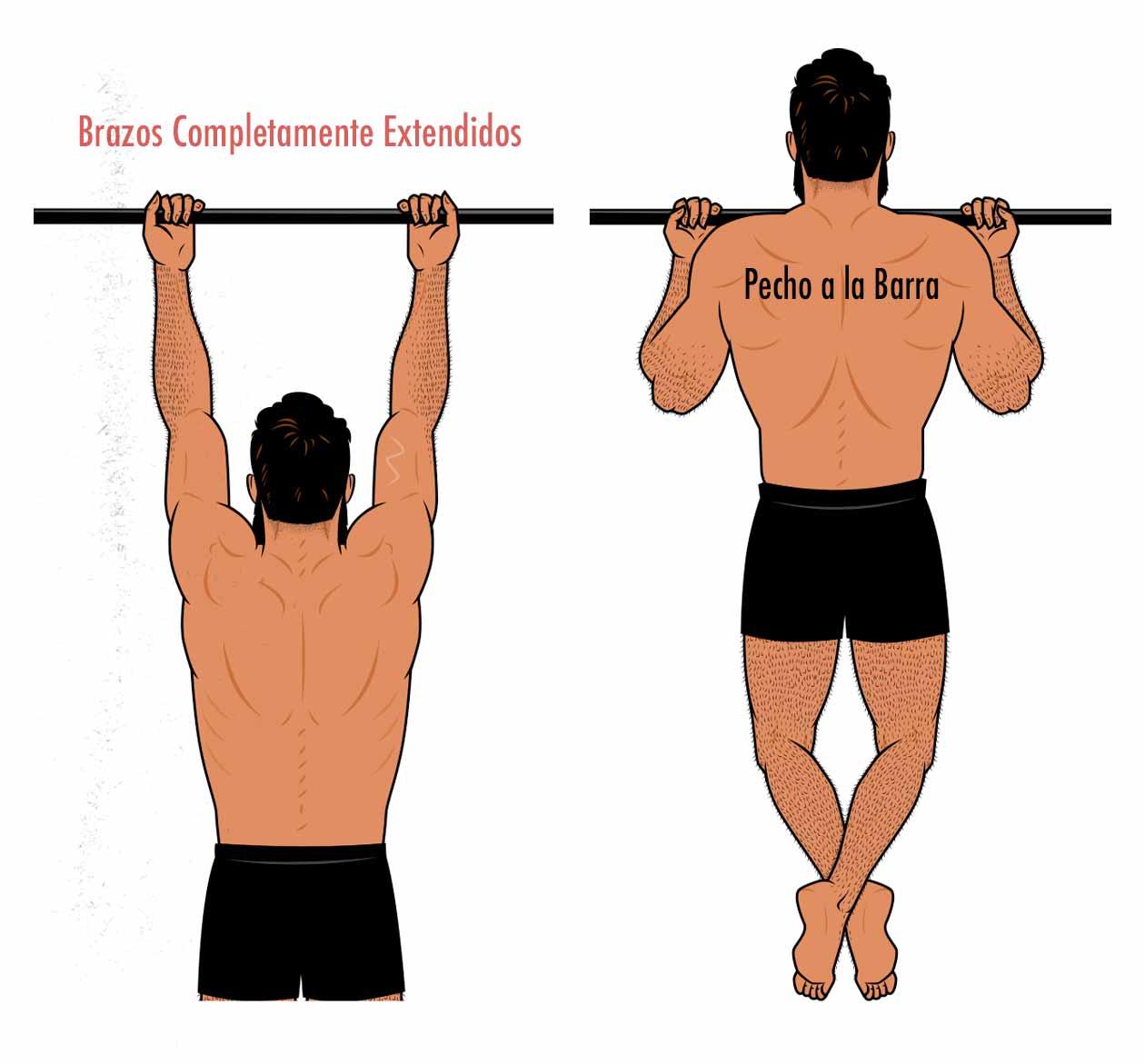 Ilustración de un chin-up realizado con un rango de movimiento completo: desde una posición con los brazos completamente extendidos hasta que el pecho toque la barra.