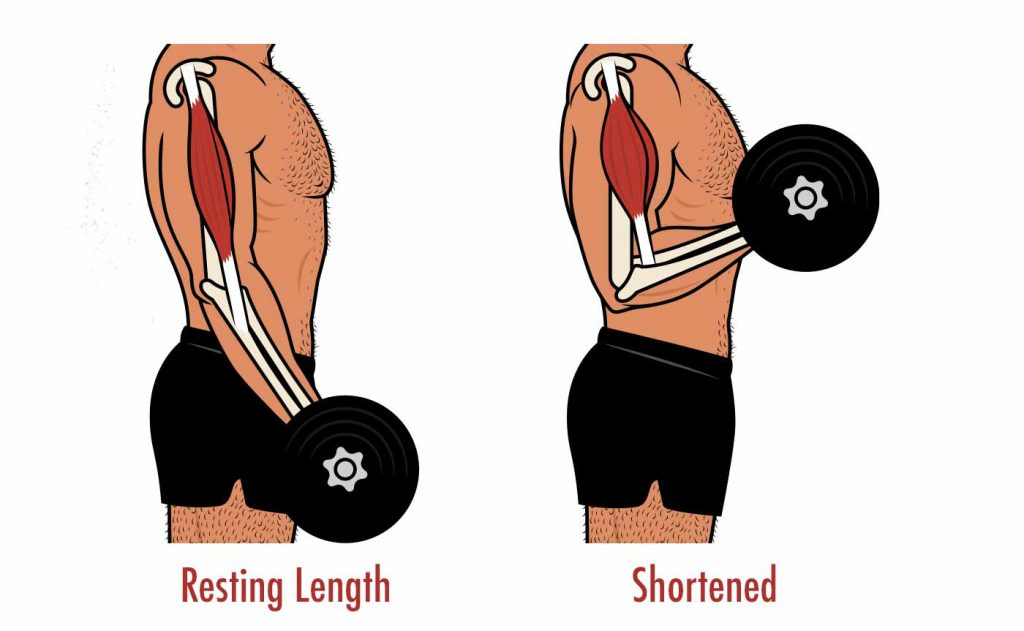 Diagram of the length tension relationship for muscle growth.