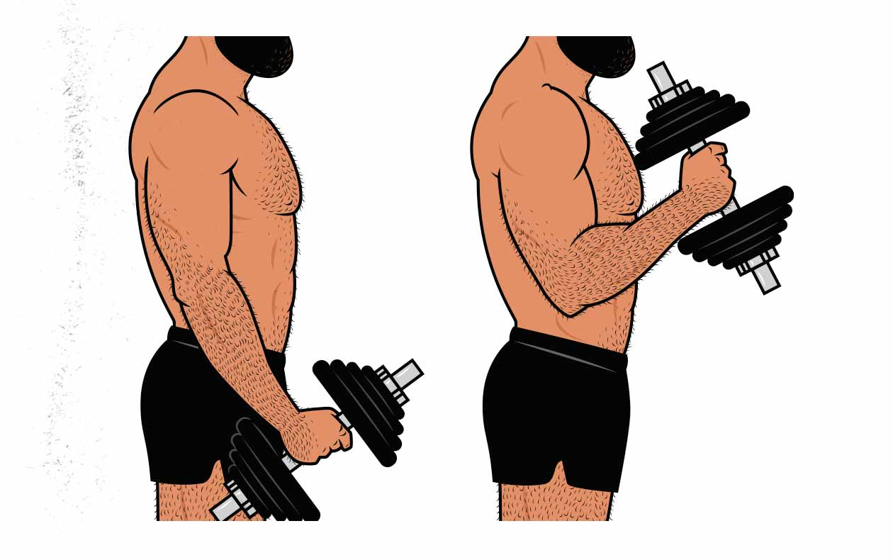 Illustration showing a bodybuilder doing a hammer curl for his brachialis muscles.