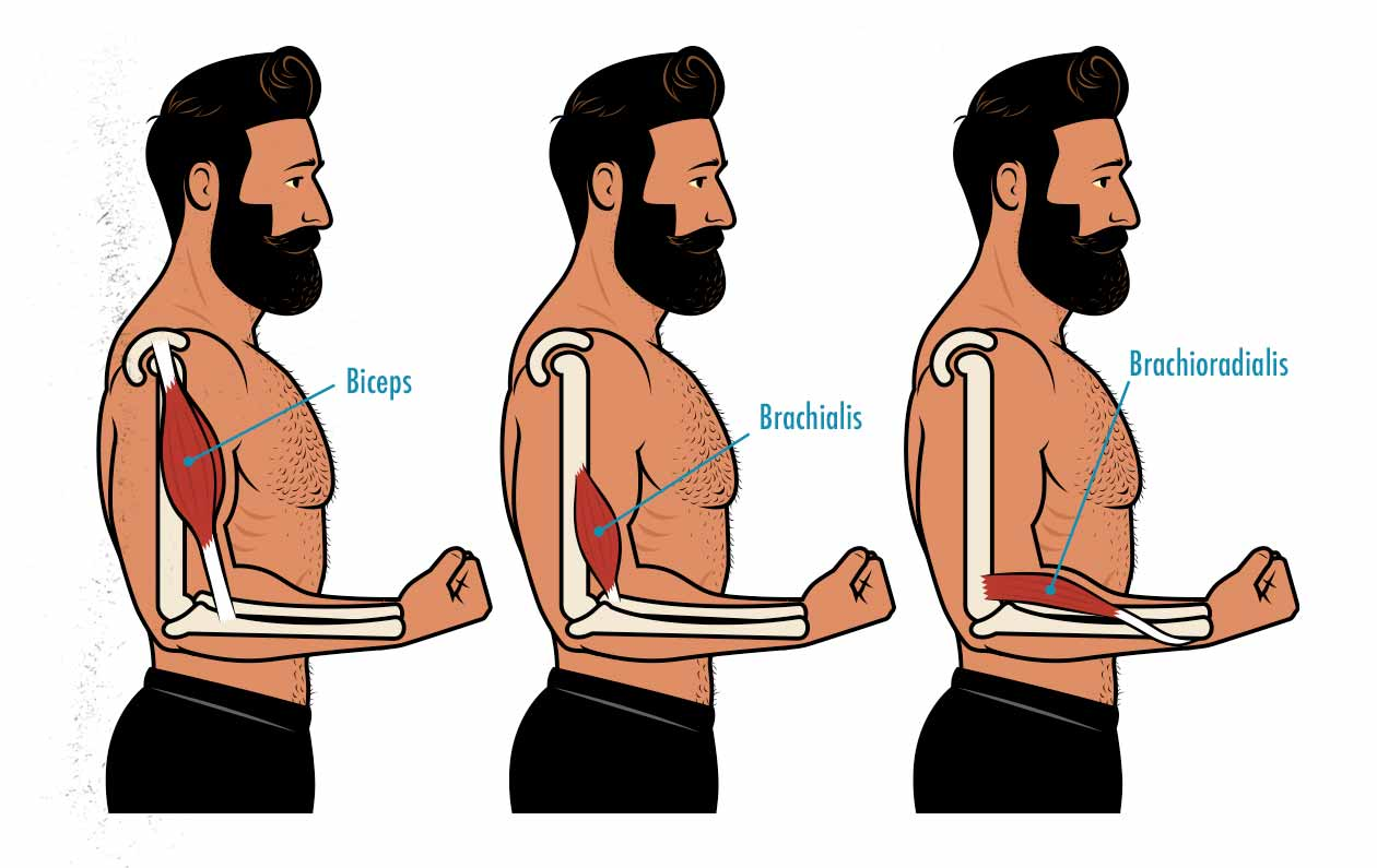 Illustration showing the anatomy of our biceps, brachialis, and brachioradialis.