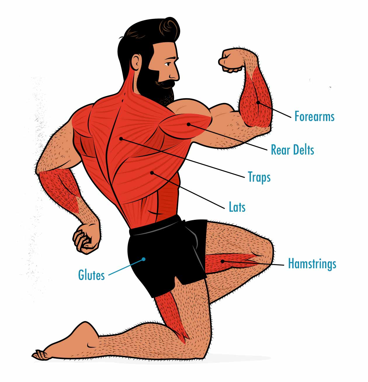 Illustration showing the muscles worked by the barbell row.