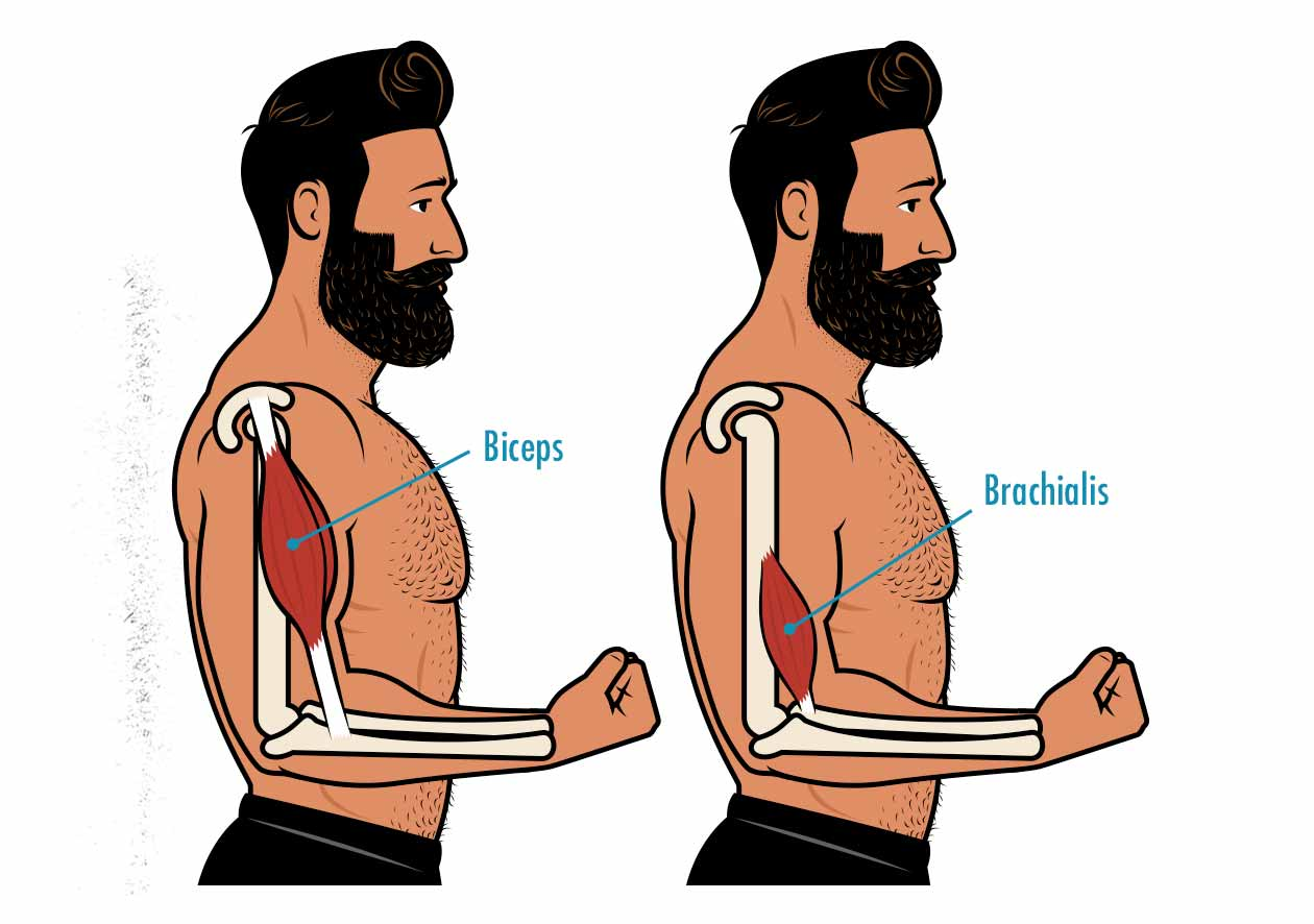 Illustration showing the anatomy of the biceps and brachialis muscles.