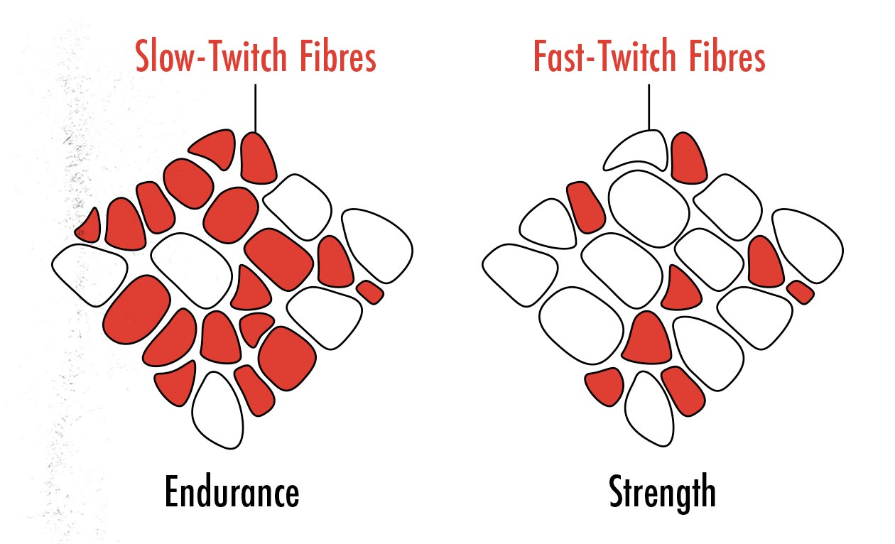 Diagram showing the difference between fast twitch and slow twitch muscle fibres.