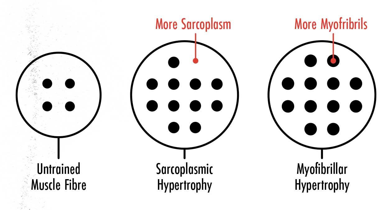 Diagram showing the difference between sarcoplasmic and myofibrillar muscle hypertrophy.