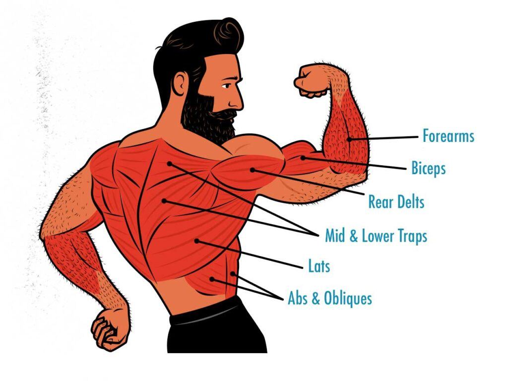 Diagram showing the muscles worked by the chin-up.