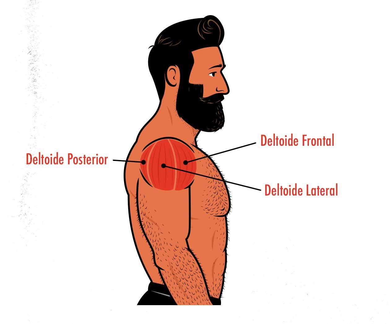 Ilustración de los músculos del hombro: deltoide frontal, deltoide lateral y deltoide posterior.