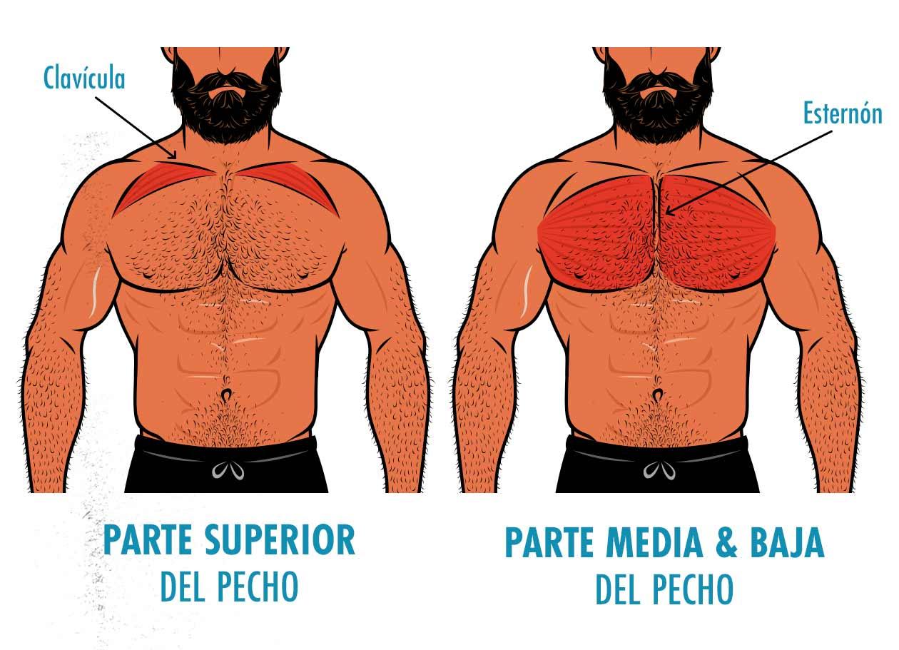 Ilustración que muestra que las fibras del pecho superior se insertan en la clavícula, mientras que las del pecho medio y bajo se insertan en el esternón.