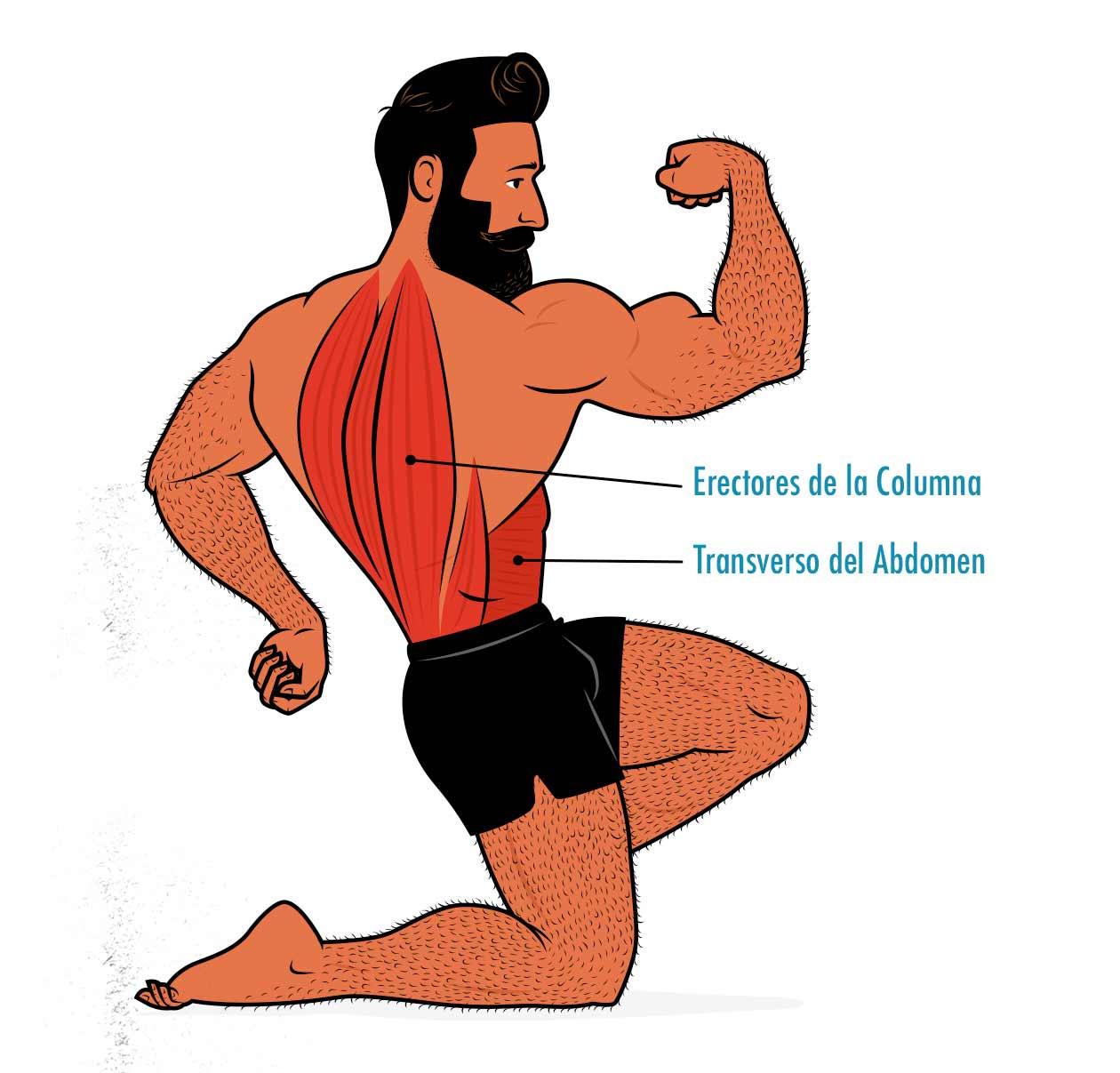 Diagrama que muestra que el peso muerto también trabaja a los erectores de la columna y al músculo transverso del abdomen.
