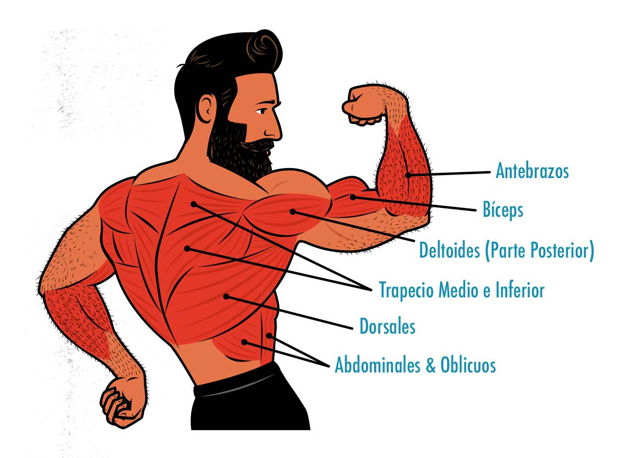 Ilustración de los músculos trabajados por el chin-up.