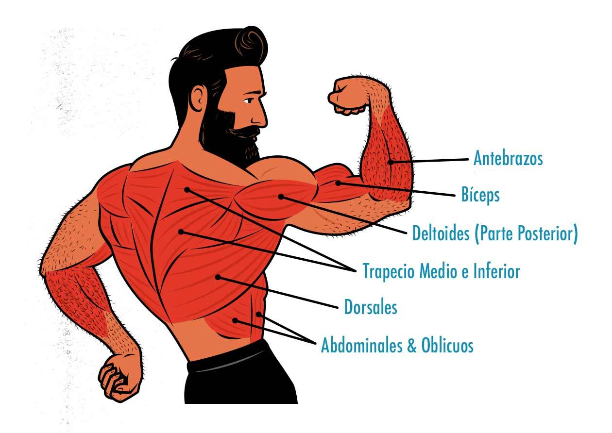 Ilustración de los músculos trabajados por los chin-ups.