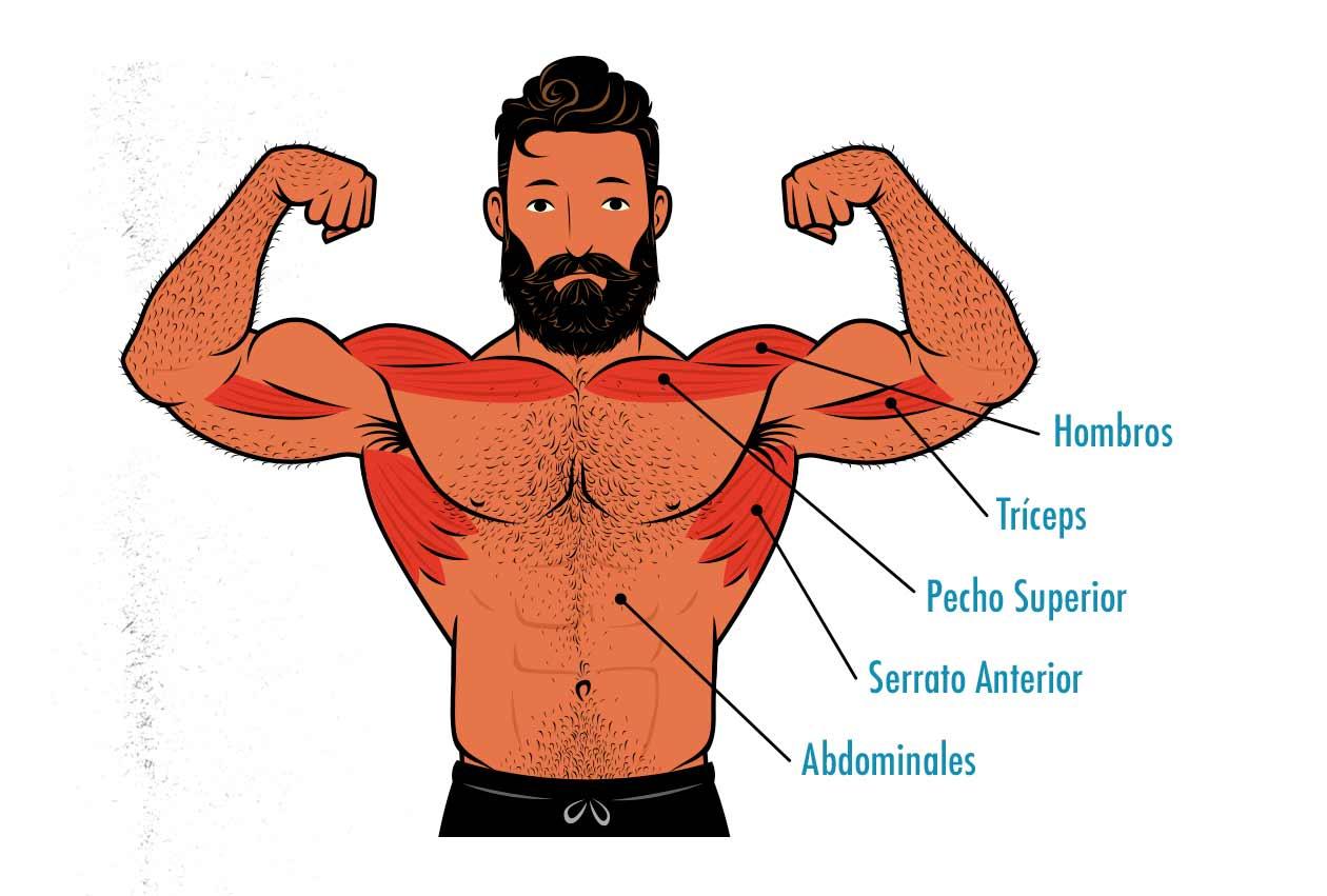 Ilustración de los músculos trabajados por la flexión de brazos vertical.