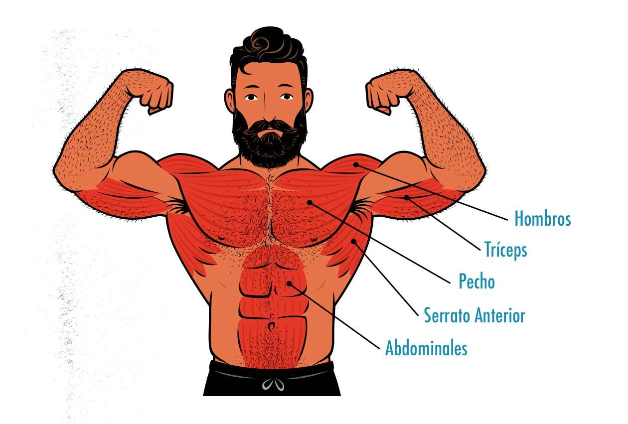 Ilustración de los músculos trabajados por las flexiones de brazos.