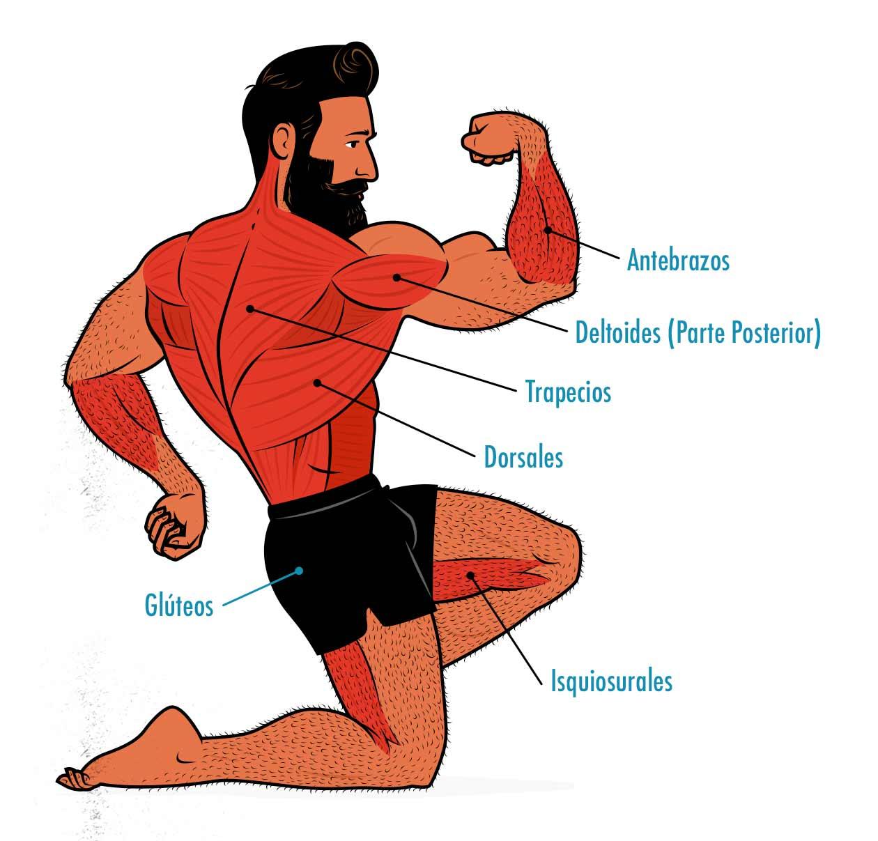 Ilustración de los músculos trabajados por el peso muerto con toalla.