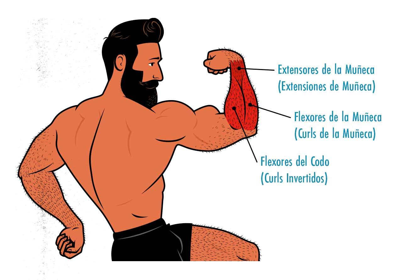 Ilustración mostrando la anatomía de los músculos del antebrazo.