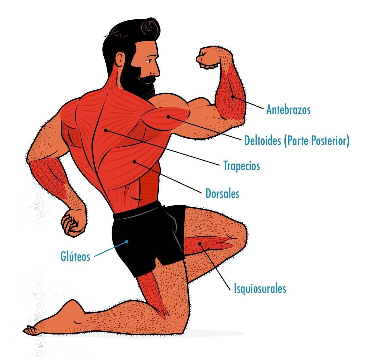 Diagrama de los músculos trabajados `por el peso muerto.