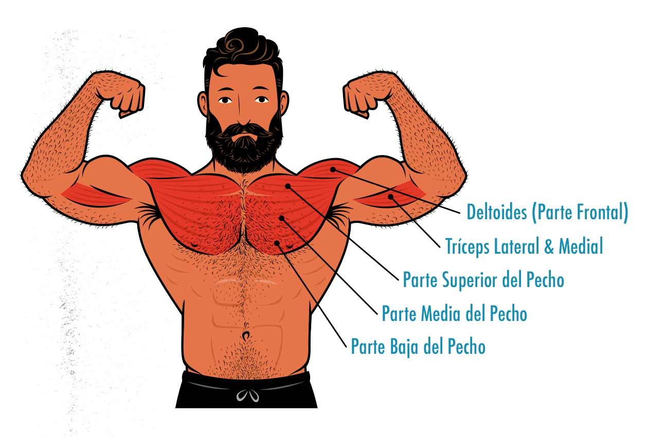 Ilustración de los músculos trabajados por el press de banca.