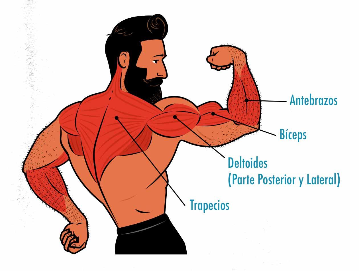 Diagrama de los músculos trabajados por el remo vertical.