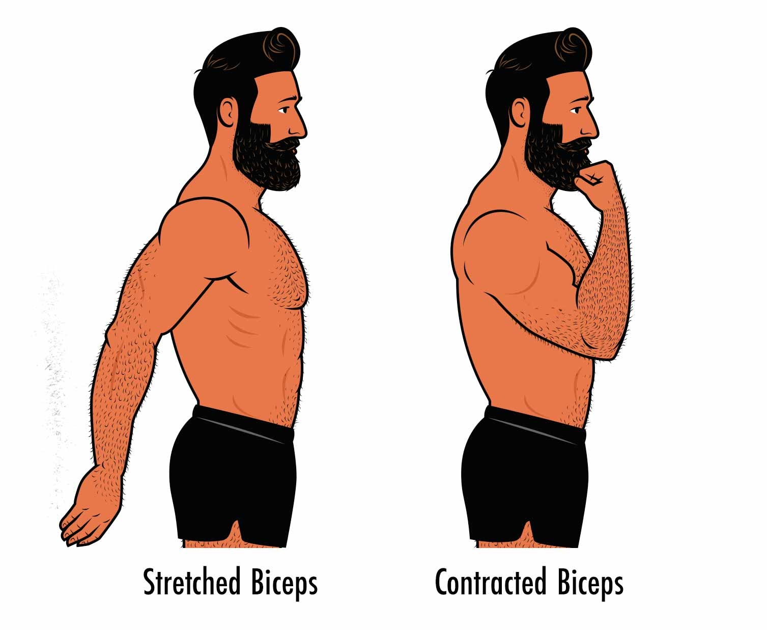 Illustration showing the range of motion of the biceps for bodybuilding.
